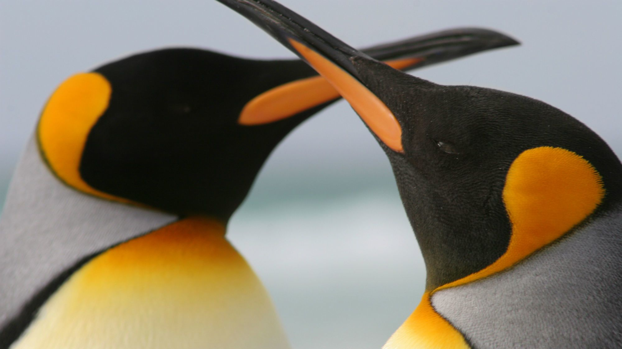 A Same-Sex Penguin Couple Has Adopted an Egg at a Berlin Zoo