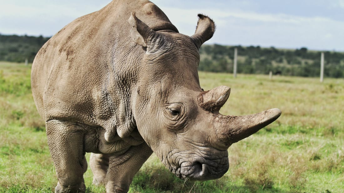 Rhinos need to be relocated in order to survive.