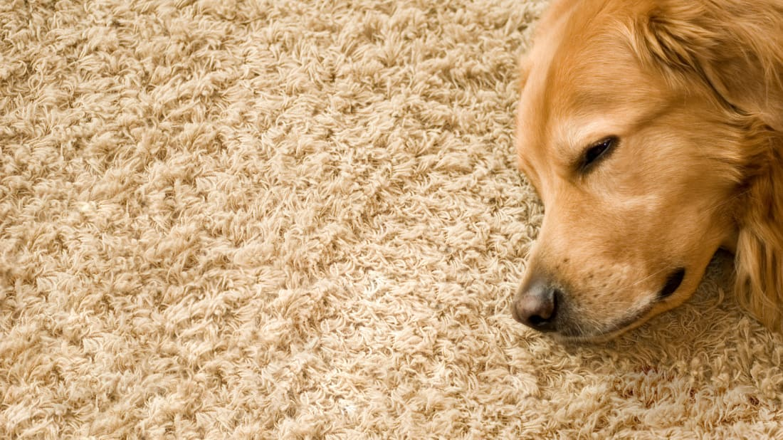 If you own a pet, a carpet like this won't look good for long.