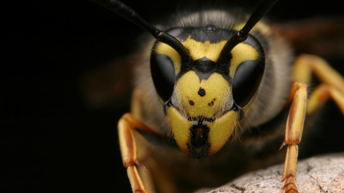Wasps Have the Ability to Use Logic, According to a New Study