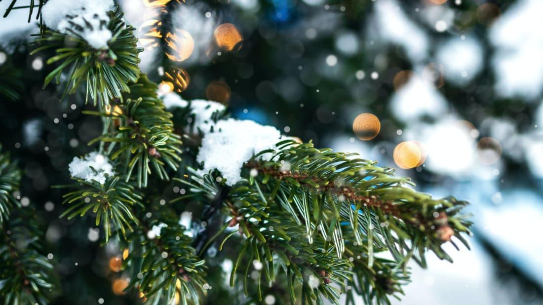 Quer uma árvore de férias? Passe pela floresta nacional mais próxima.