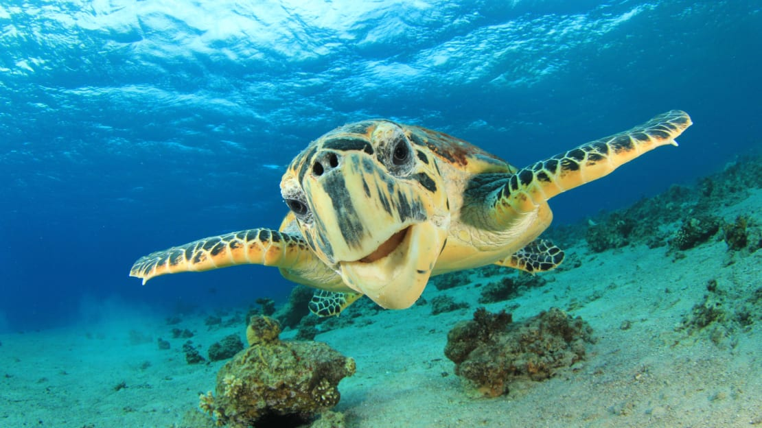 Sea turtles in Israel are being saved by mayonnaise.