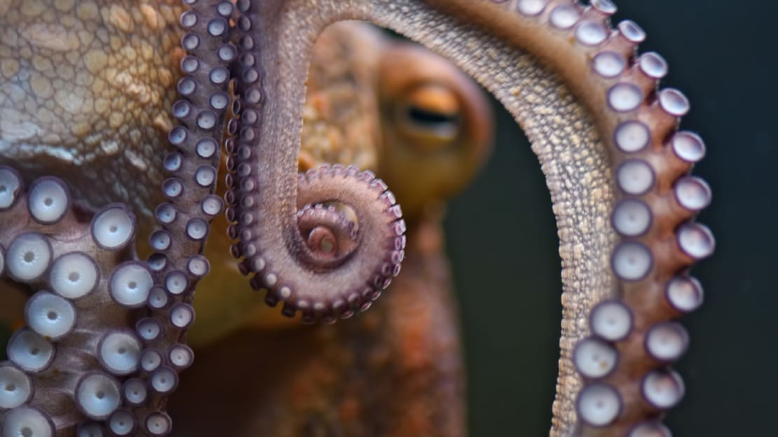 Octopuses never have to say a farewell to arms for long.