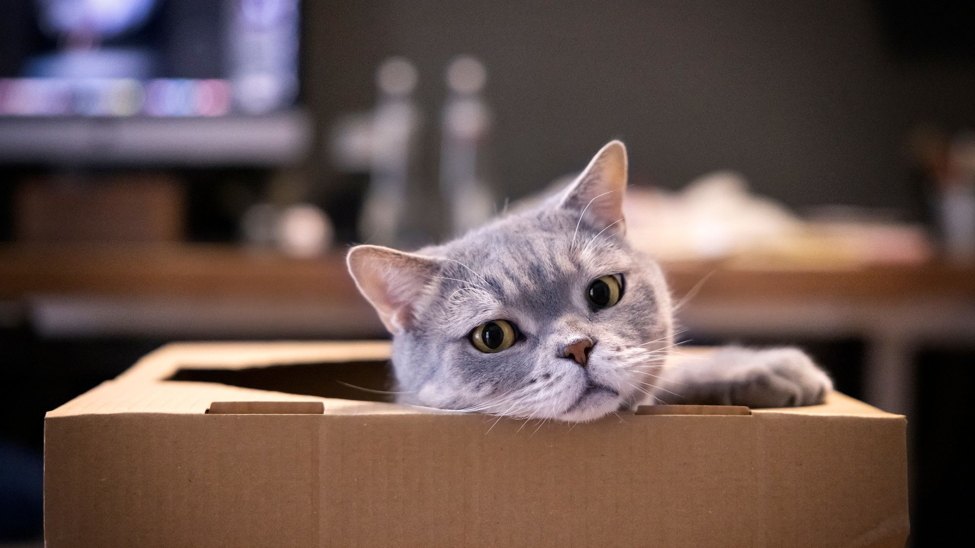 Science Shows Cats Love Even Imaginary Boxes