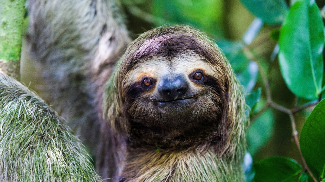 Sloths have little problem holding still for nature photographers.
