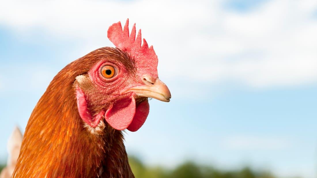 A traffic chicken is patrolling a New Zealand preschool.