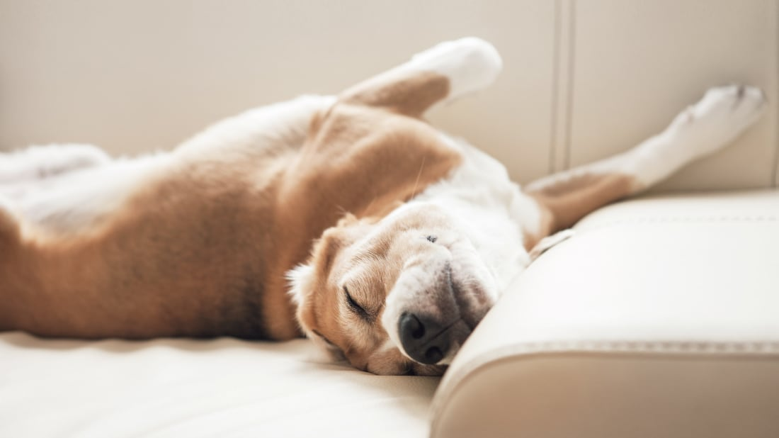 Dogs appear to be running in their sleep. Why?