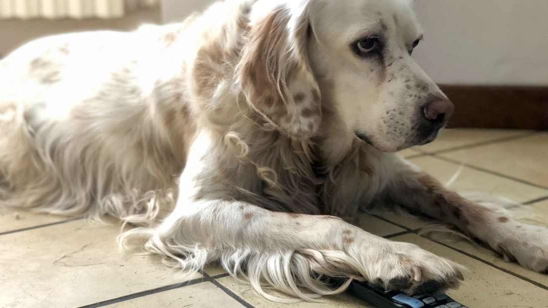 This dog would like to turn off Netflix's autoplay feature.