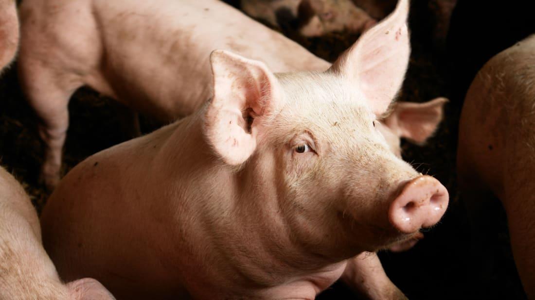 Porcos gostam de jogos.