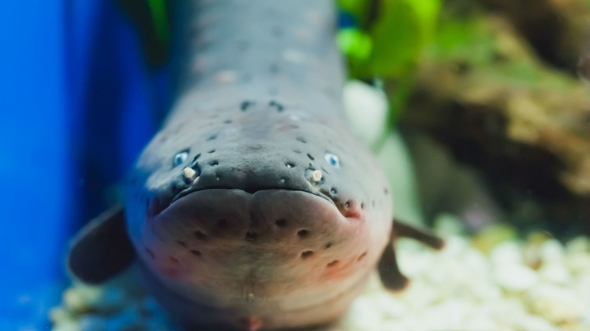 Shocker: This Electric Eel Delivers More Voltage Than Any Creature on Earth