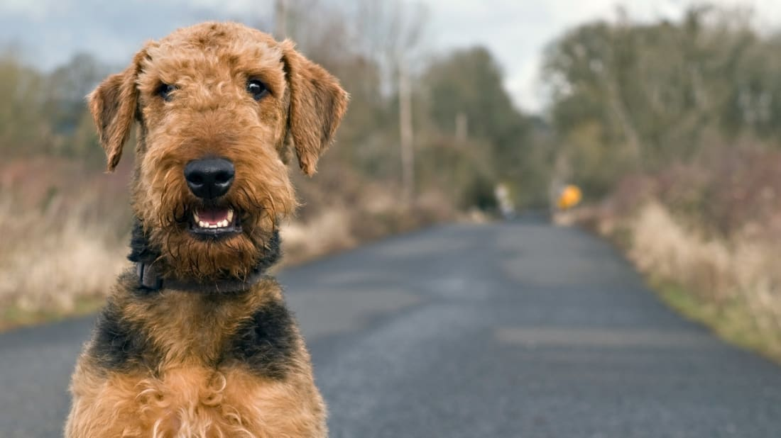 Dormie was an Airedale Terrier who ran afoul of the law.