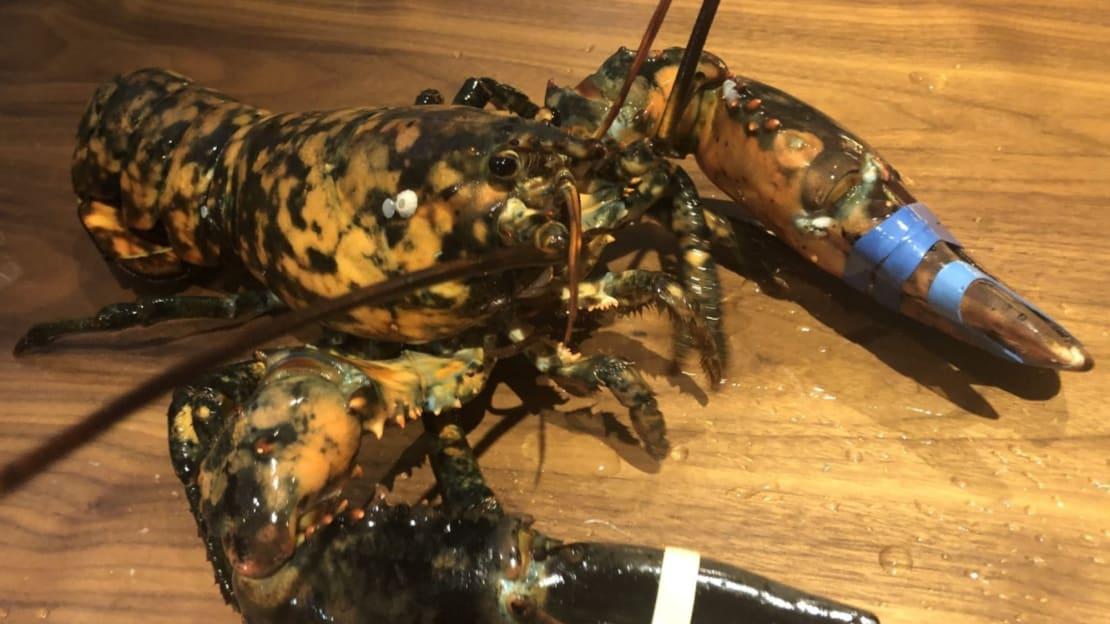 The calico lobster dubbed 'Freckles.'