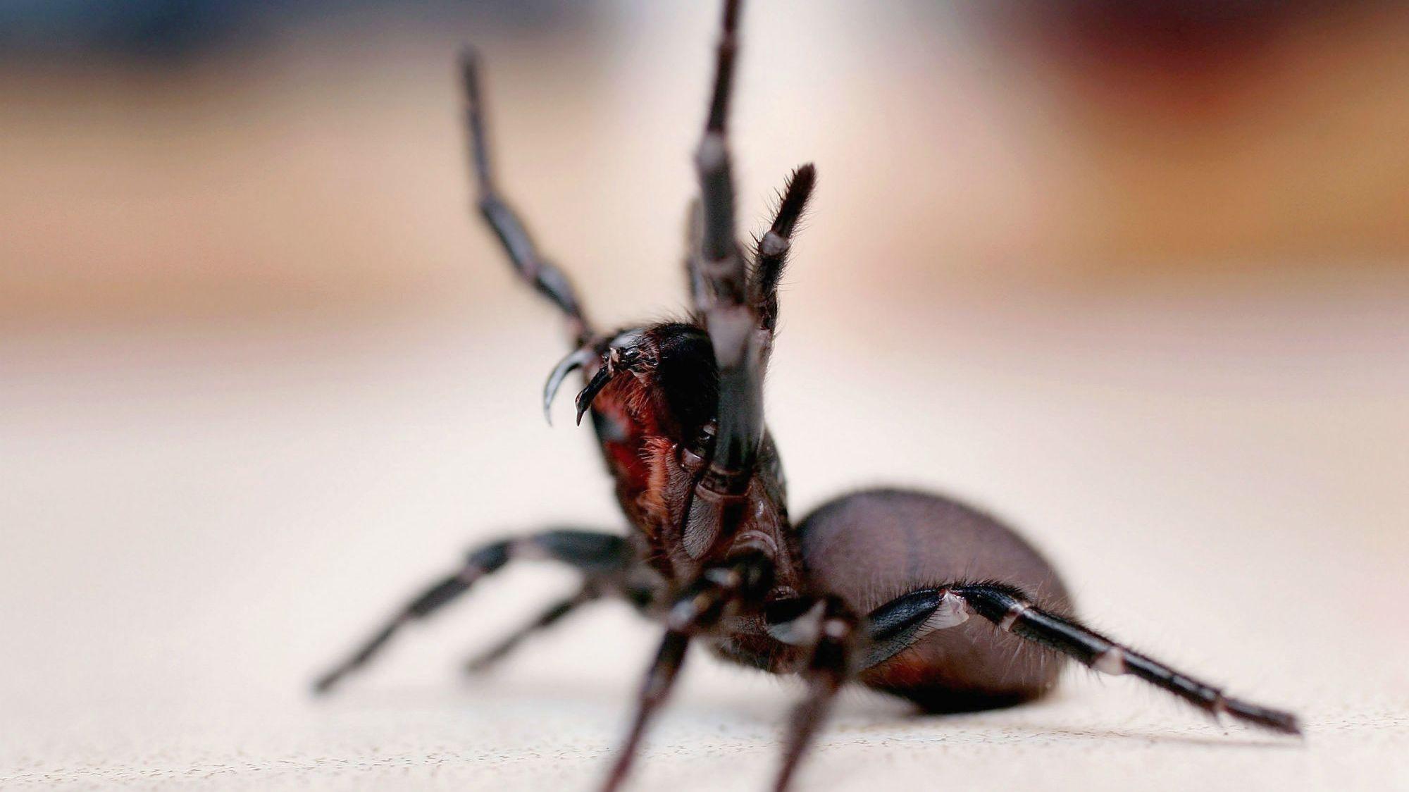 делали дерева фото австралийского паука по хорошему этом