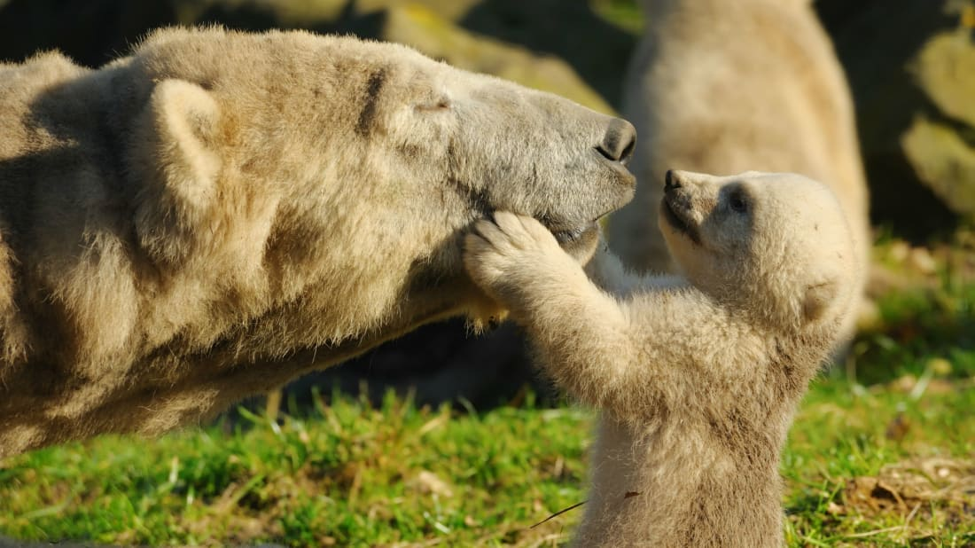 The UK's First Polar Bear Cub in 25 Years Was Just Born in Scotland