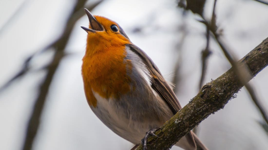 Os pássaros gostam de cantar de manhã.