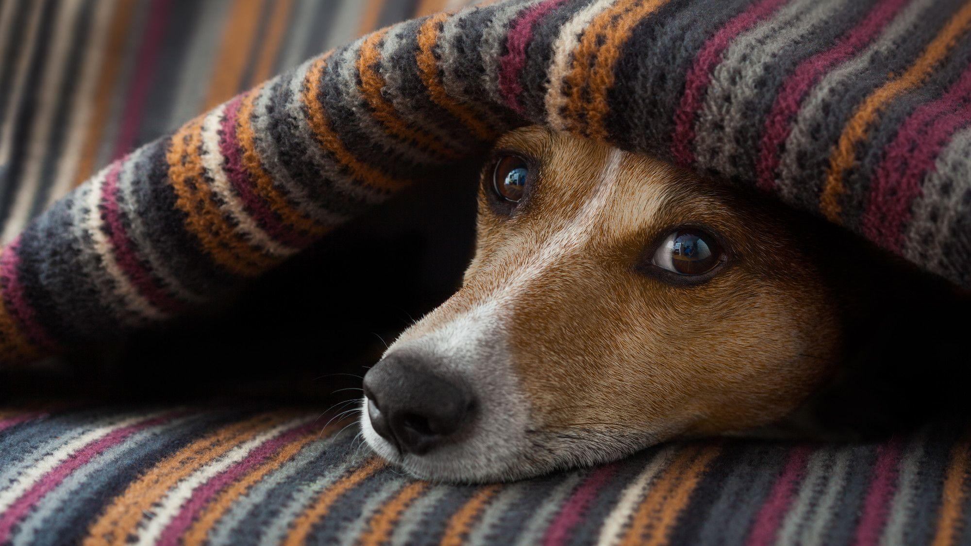 Do Dogs Get Headaches?