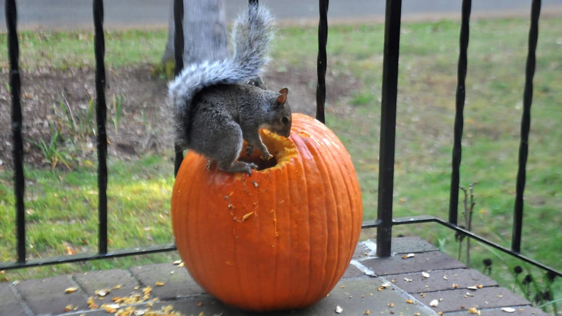Squirrels are looking to pumpkins for sustenance this year.
