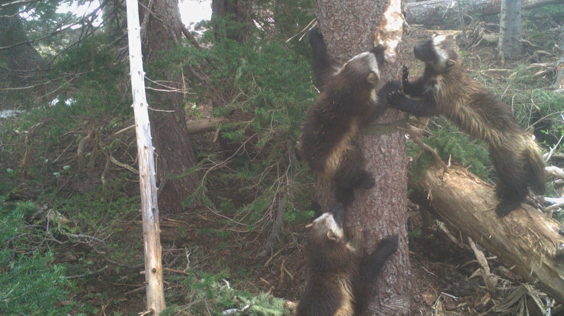 NPS/Cascades Carnivore Project, Flickr // CC BY 2.0