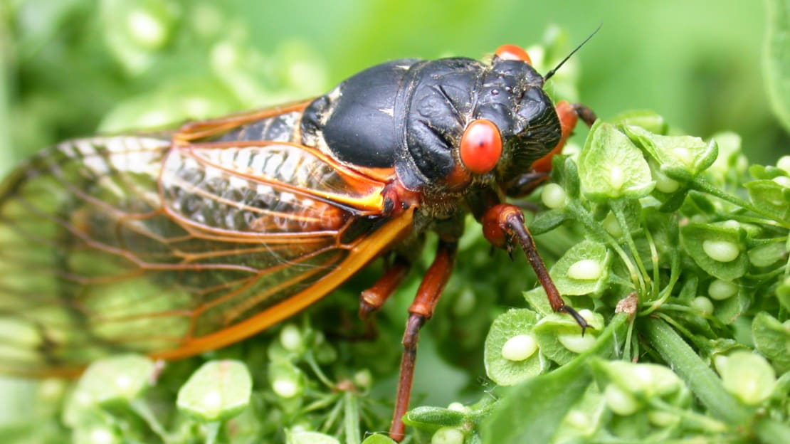 The cicadas are coming!!!