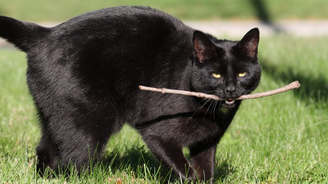 You can train your cat to play fetch—really.
