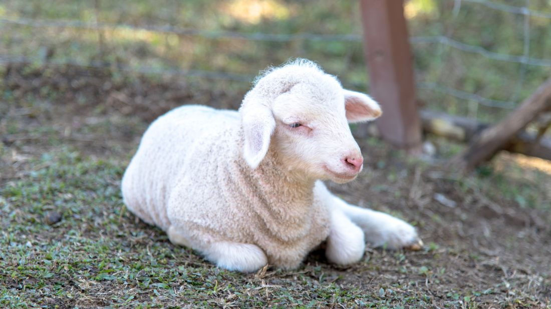 A stock photo of a lamb