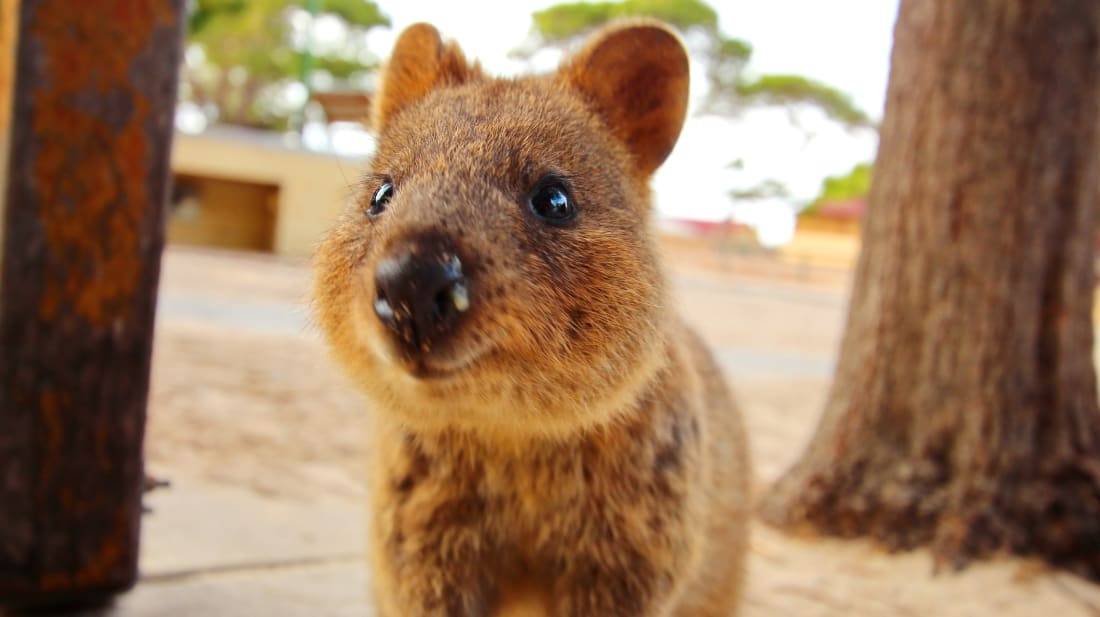 A quokka smiles for the camera
