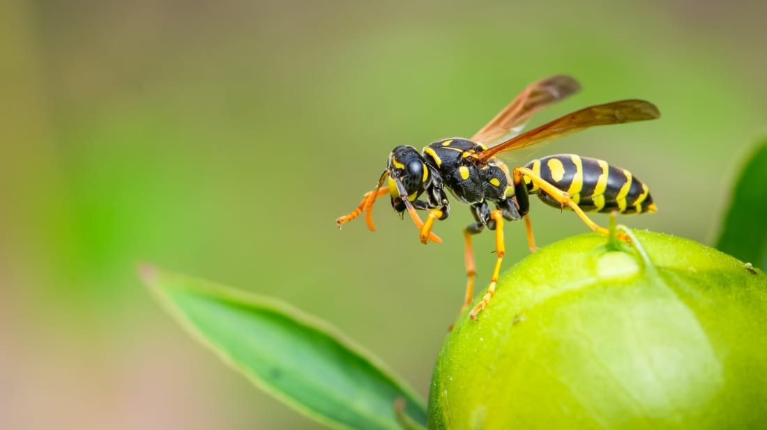 Bees vs  Hornets vs  Wasps: What's the Difference? | Mental
