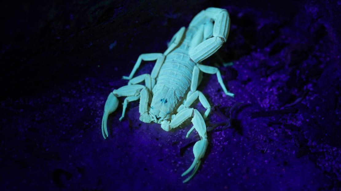 A bark scorpion giving 'em the old razzle dazzle.