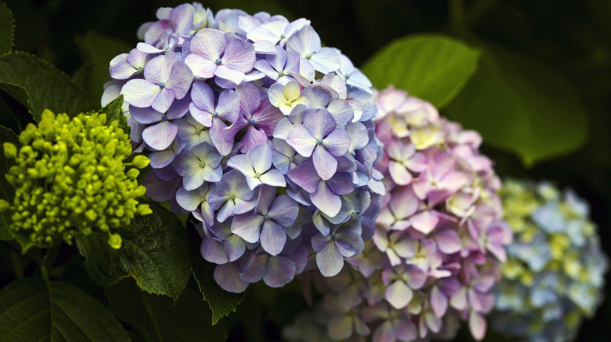 The Easy Way to Propagate Hydrangeas in Your Garden