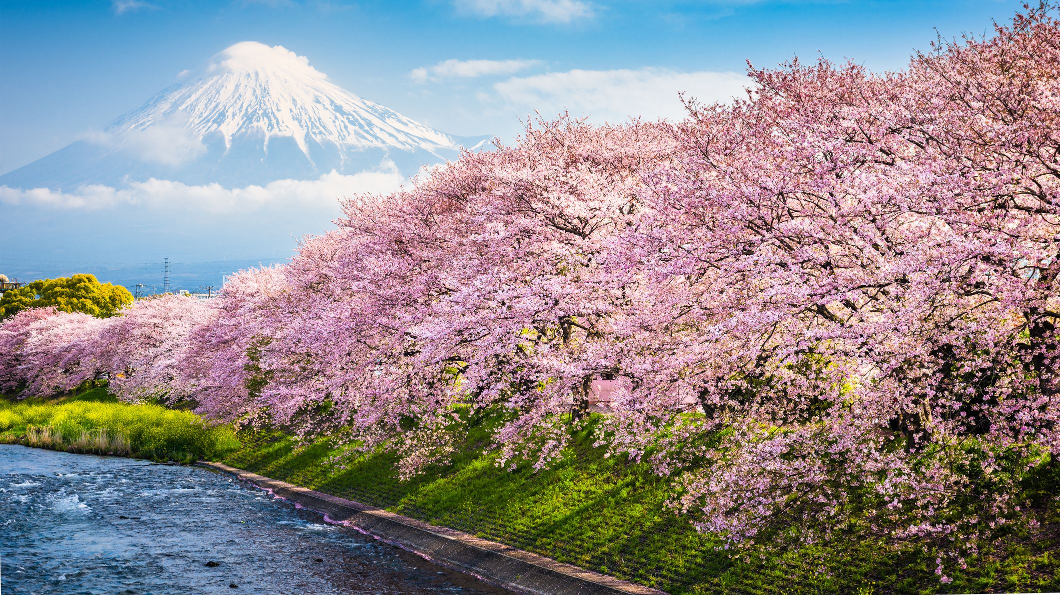 3afa980044f6 10 Amazing Facts About Cherry Blossoms | Mental Floss
