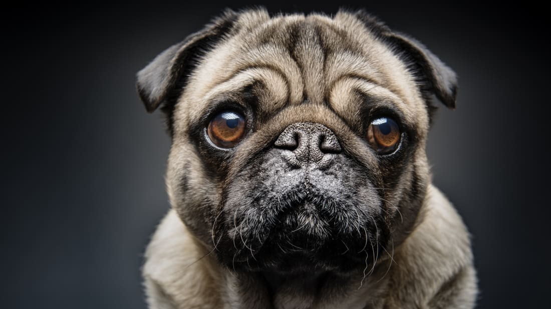 12 Fun Facts About Pugs | Mental Floss