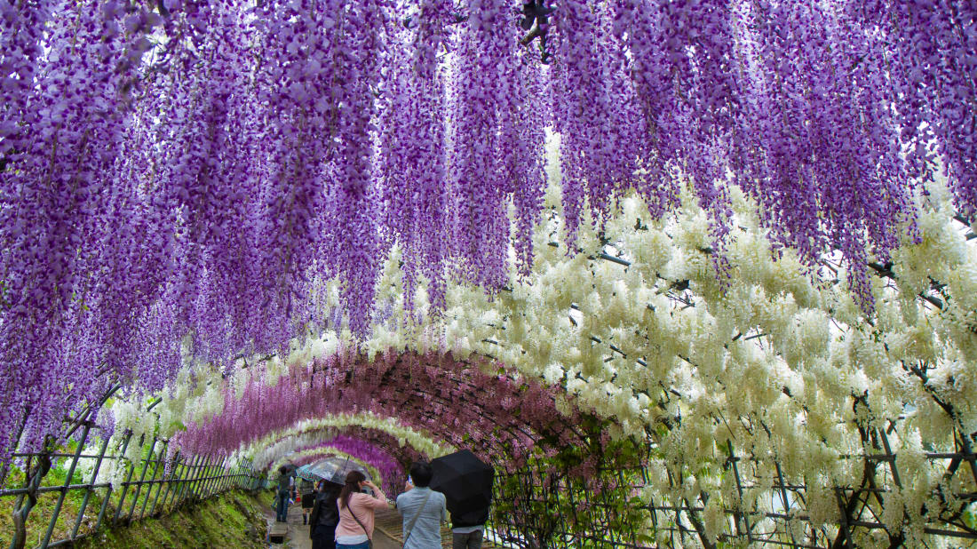 The Kawachi Wisteria Garden in Fukuoka, Japan