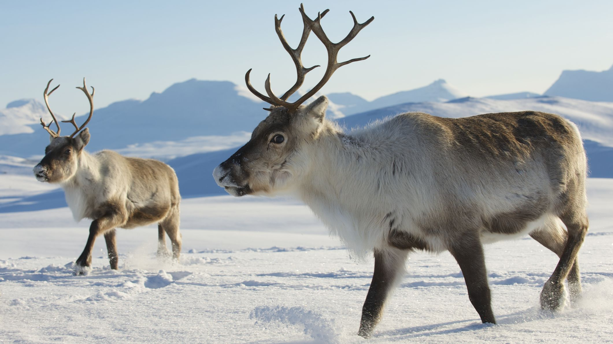 753c1ab7b 11 Reindeer Facts to Share This Winter