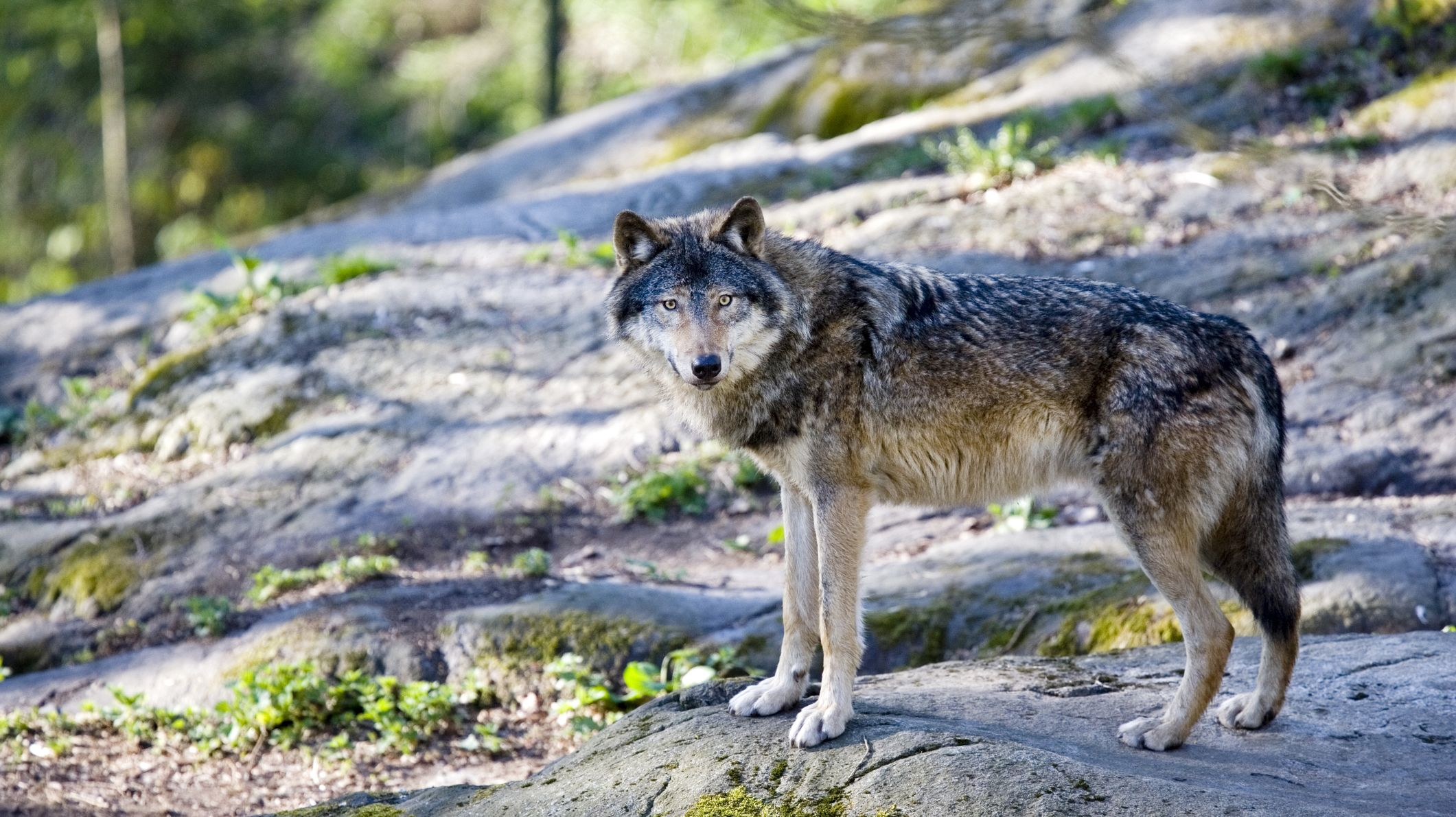 Wolf Spotted Near Yosemite for the First Time in a Century