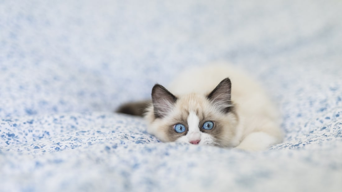 90ebbfde37 7 Facts About Ragdoll Cats