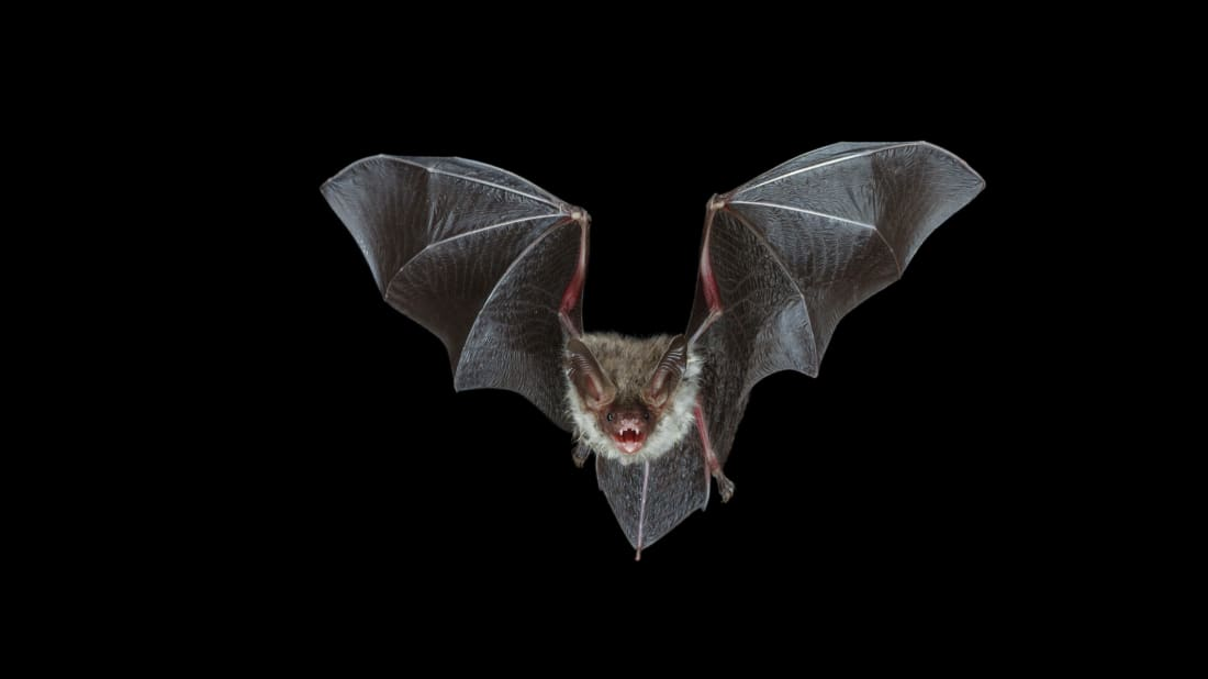 7 Myths About Bats | Mental Floss