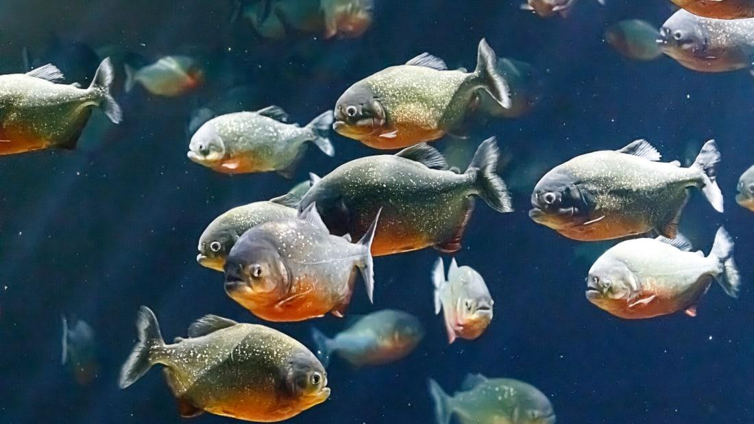Piranhas are a crowd favorite in aquariums.