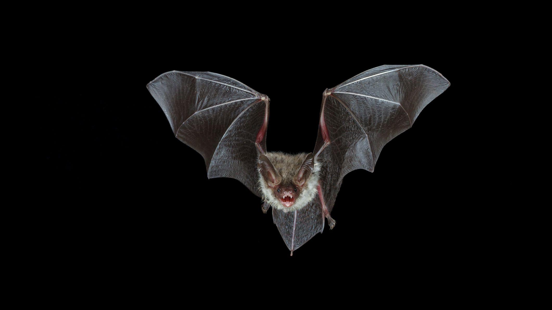 7 Myths About Bats Mental Floss