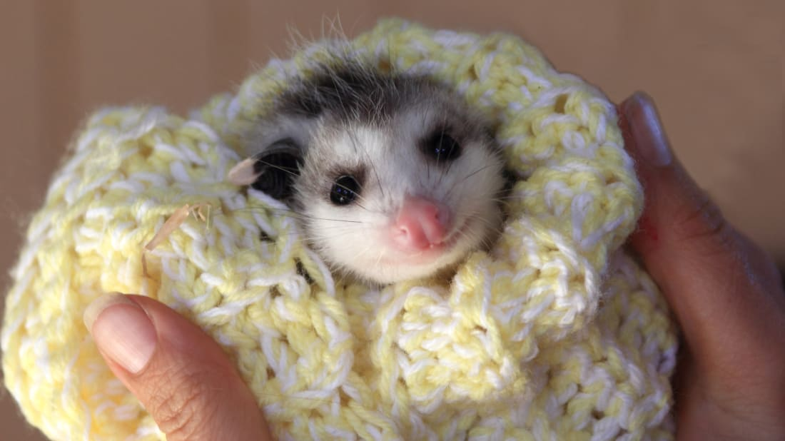 A baby opossum wrapped in a blanket.