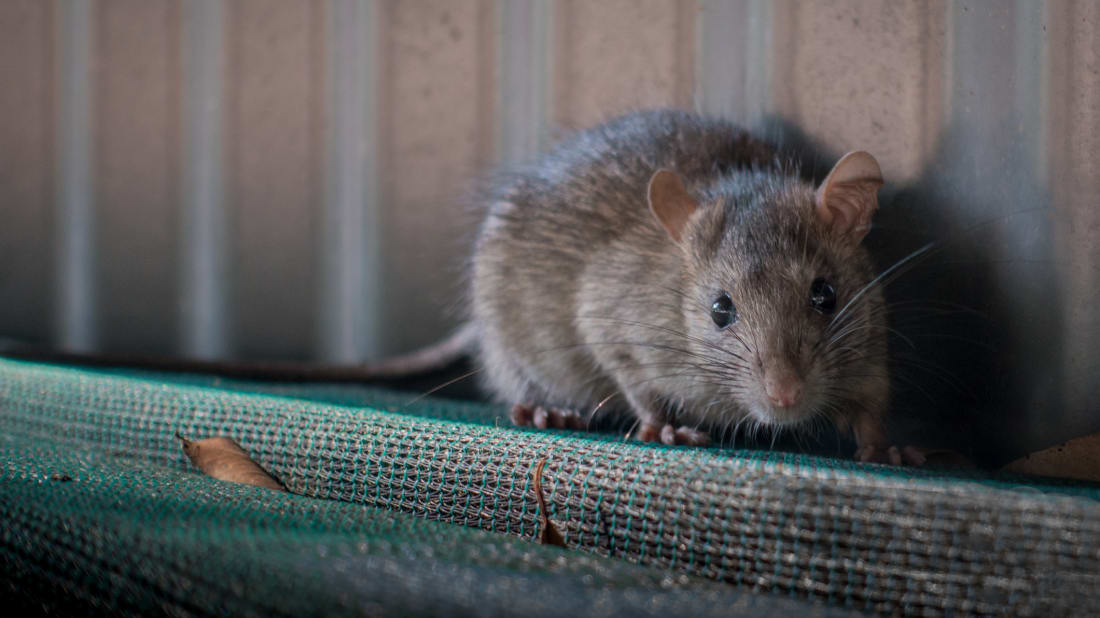How Does Alberta, Canada, Stay Rat-Free?