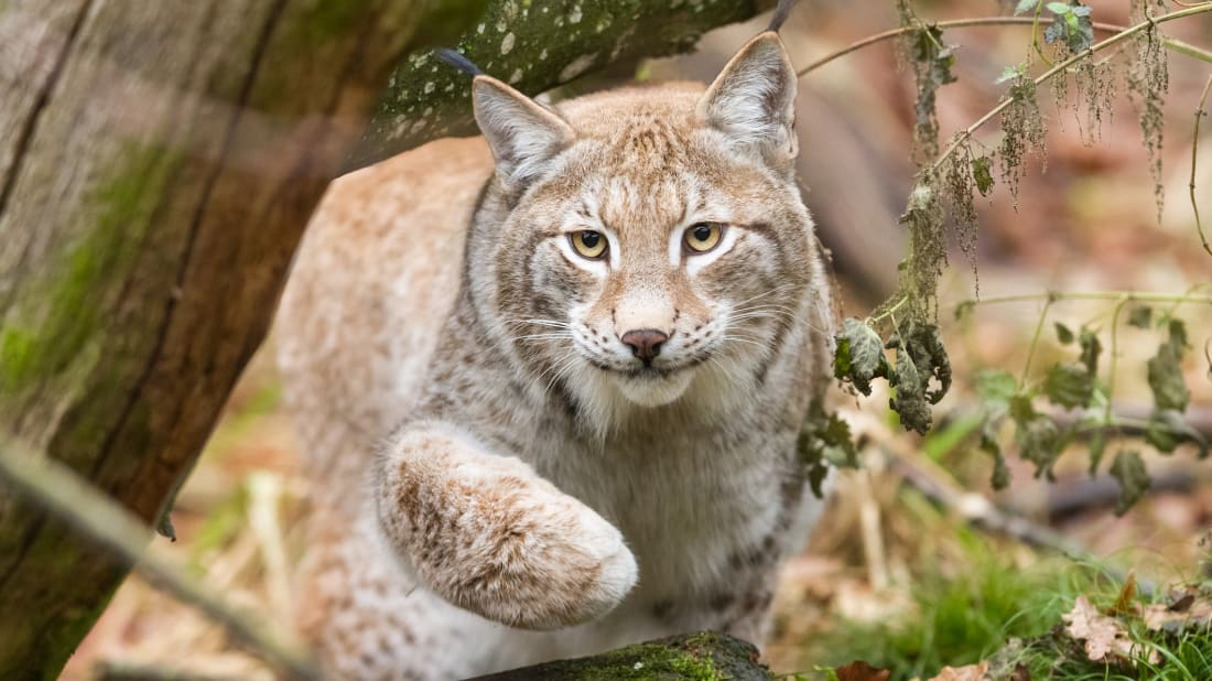 13 Furry Facts About Bobcats | Mental Floss