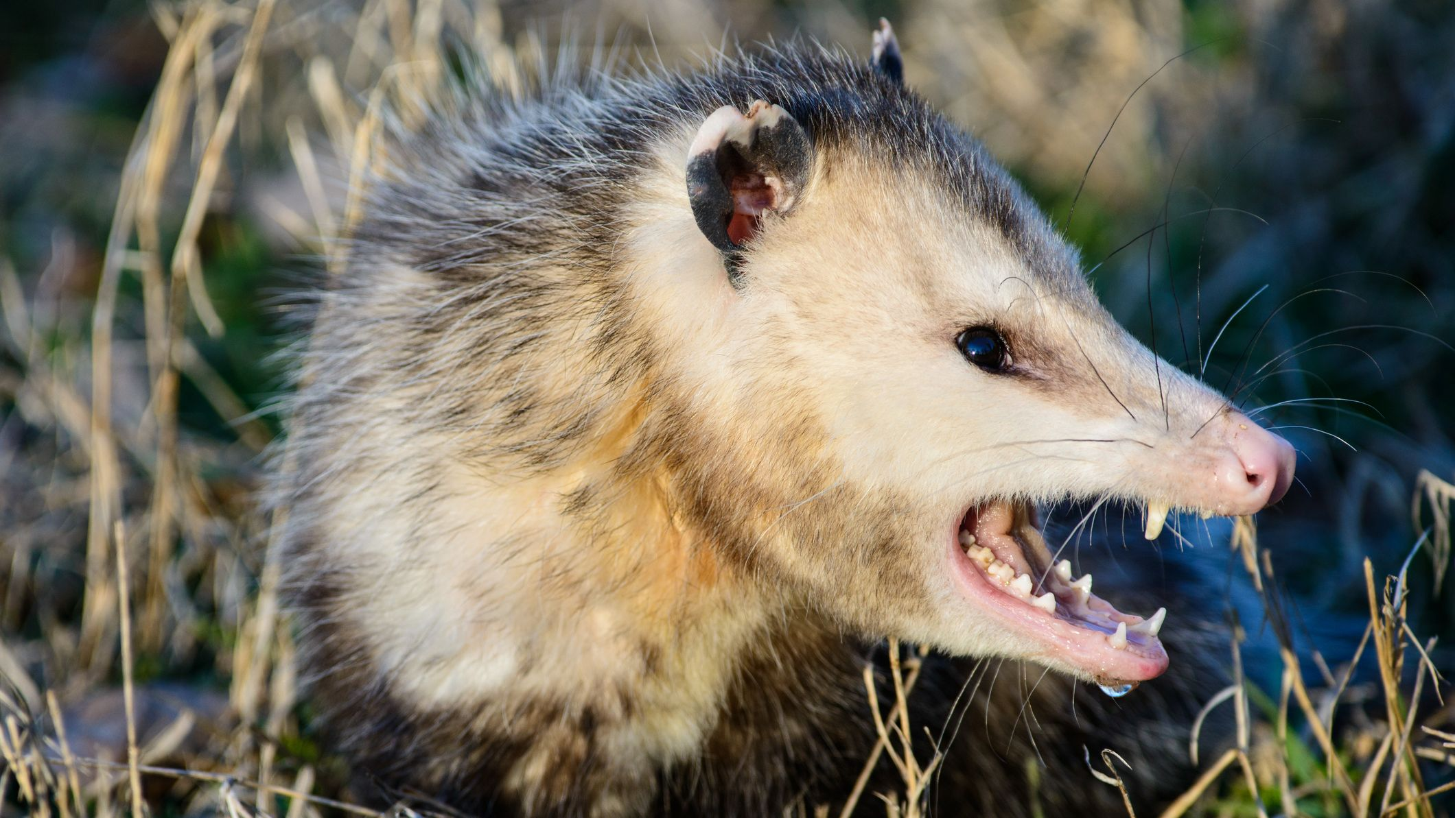 What's the Difference Between a Possum and an Opossum ...