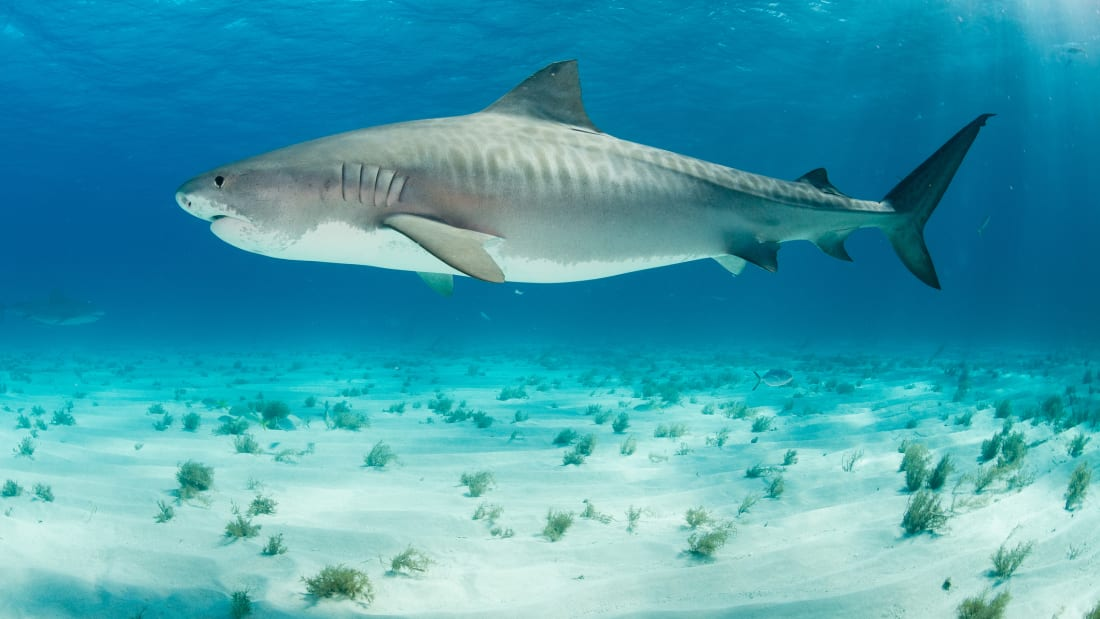 11 Facts About Tiger Sharks | Mental Floss
