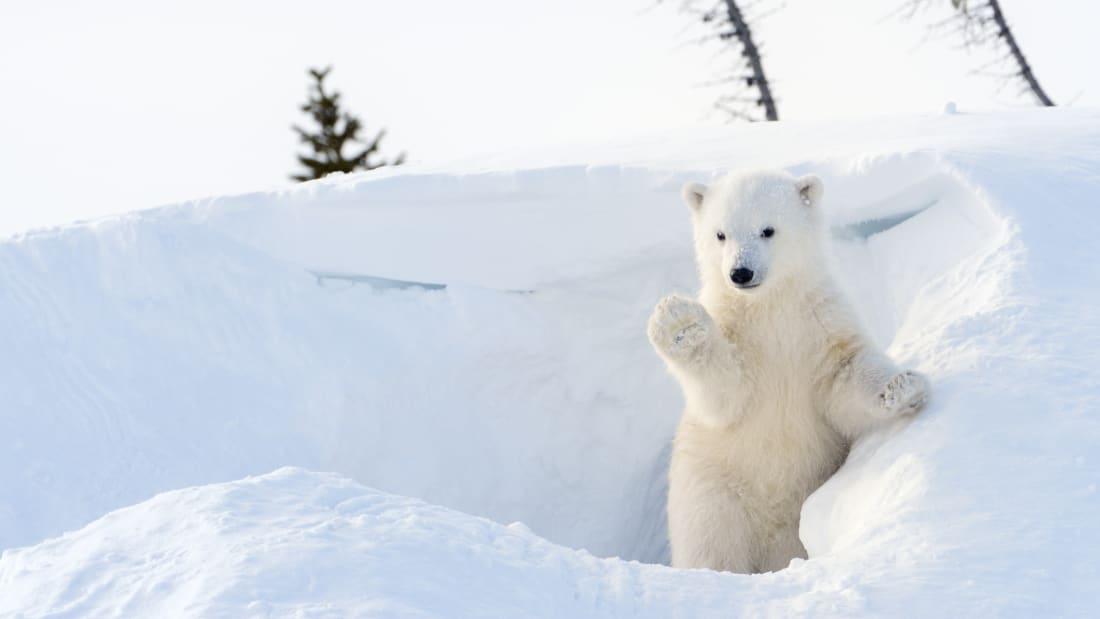 25 Cool Facts About Polar Bears Mental Floss