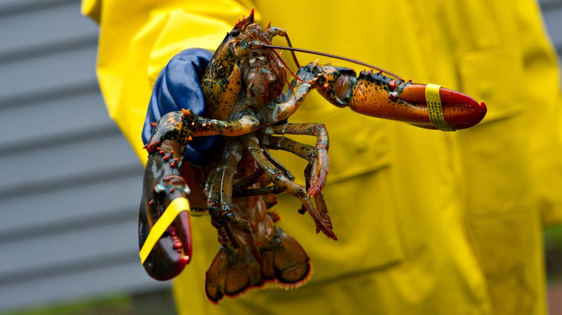 A fisherman holds a freshly caught Maine lobster.