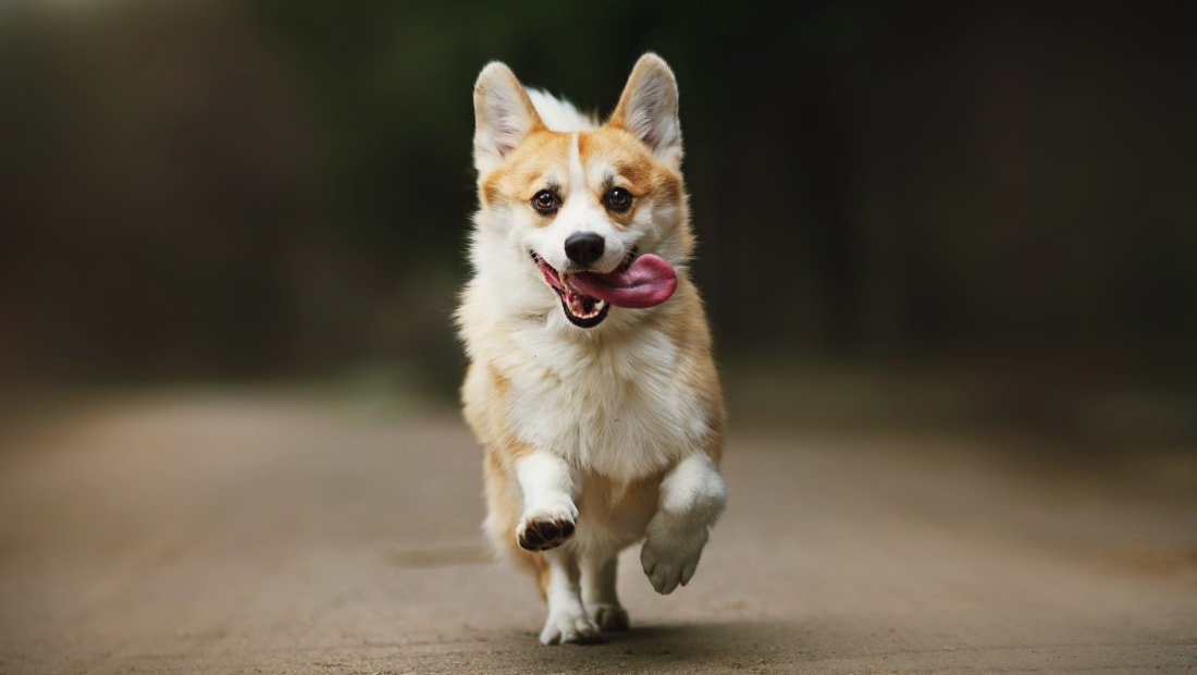 10 Fun Facts About Corgis | Mental Floss