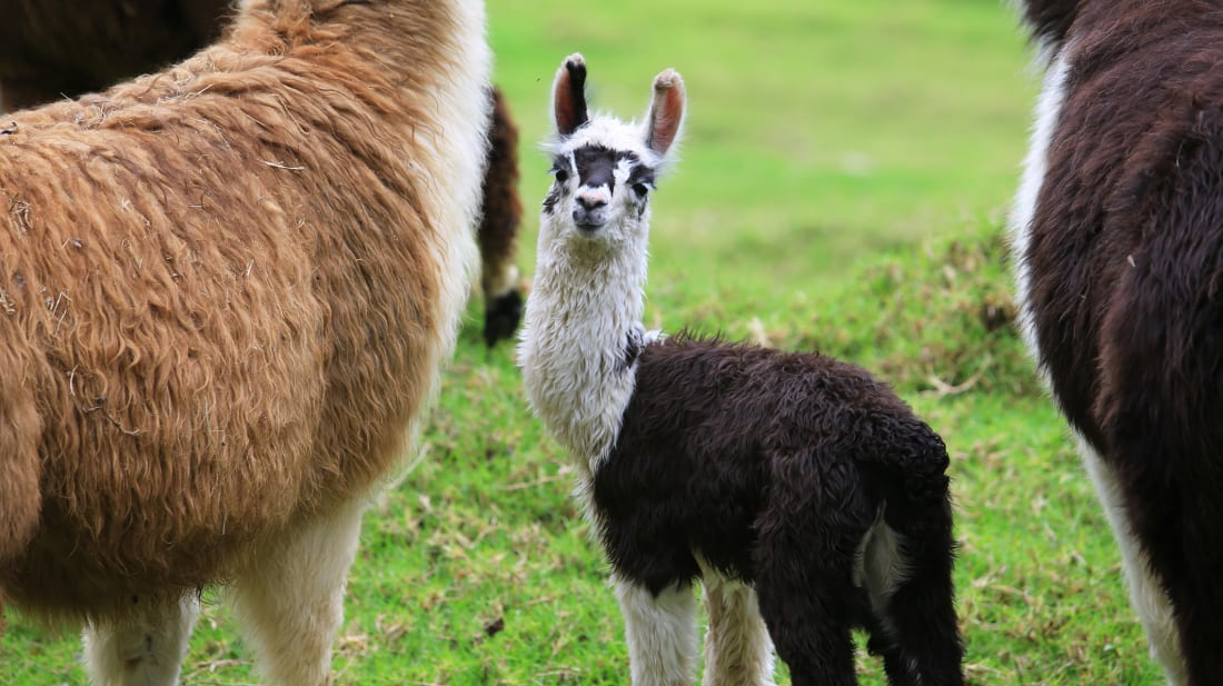 Never wonder what you should call a baby alpaca again.