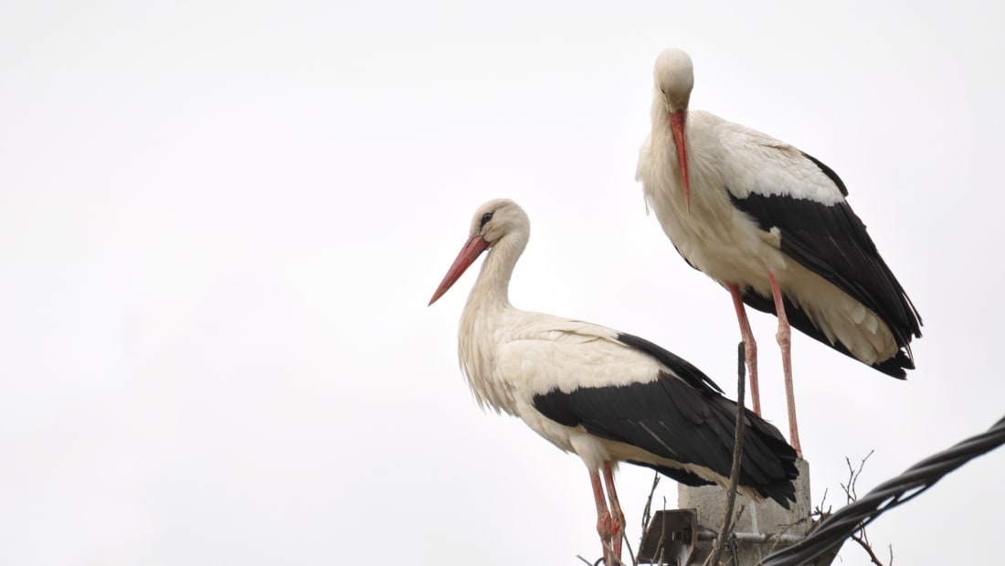 Two adult storks in a nest