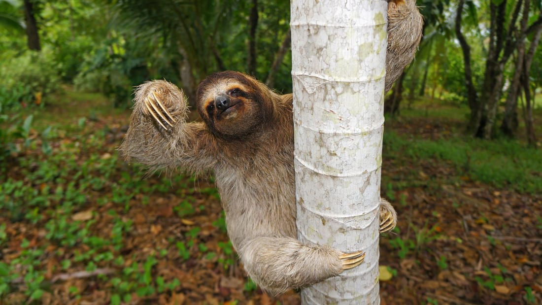 Why Pooping Can Be a Life-Threatening Experience for a Sloth