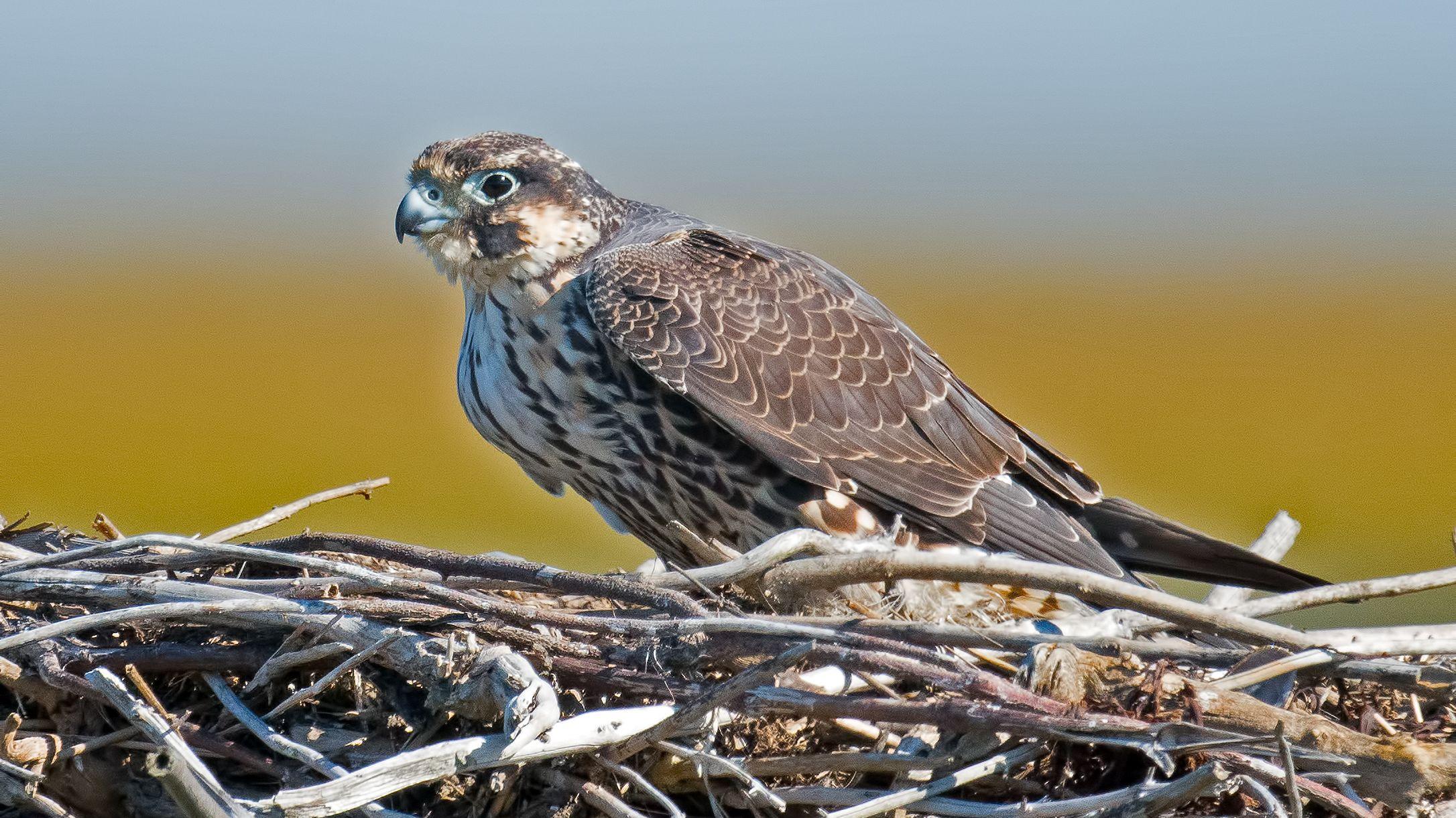 New York Metropolis Falcon Cam Reveals Nest With four Eggs